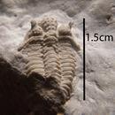 Image of Encrinuridae
