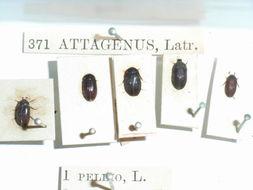 Image of Fur beetle