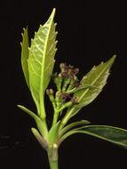 Image of acuba