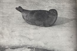 Image of Saimaa Ringed Seal