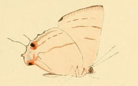 Image of <i>Iolaus bolissus</i> Hewitson 1873