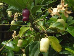 Image of <i>Atuna racemosa</i> Raf.
