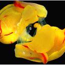 Image of Gastropteridae