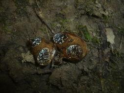 Image of Melanogaster