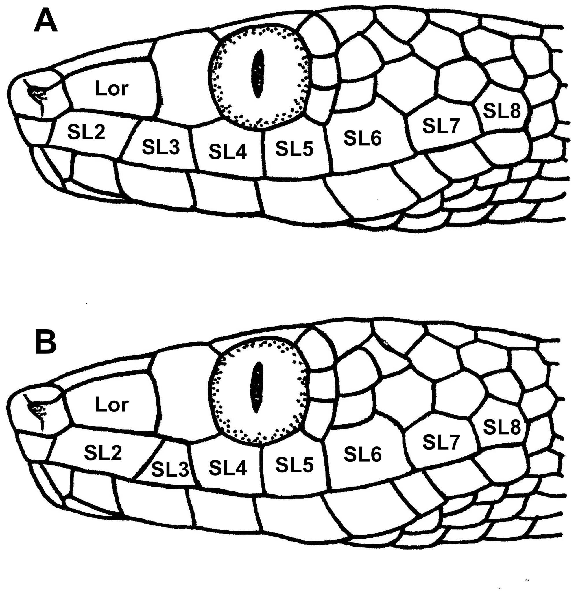 Image of Lycodryas
