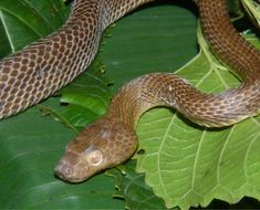 Image of Spotted Tree Snake