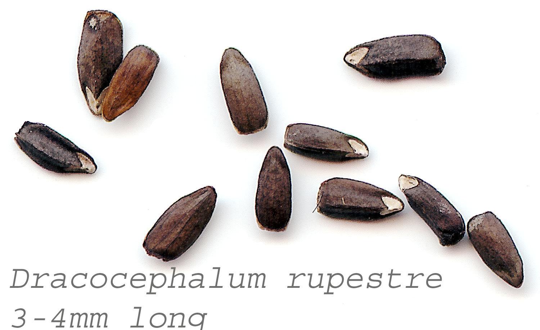 Image of <i>Dracocephalum rupestre</i> Hance