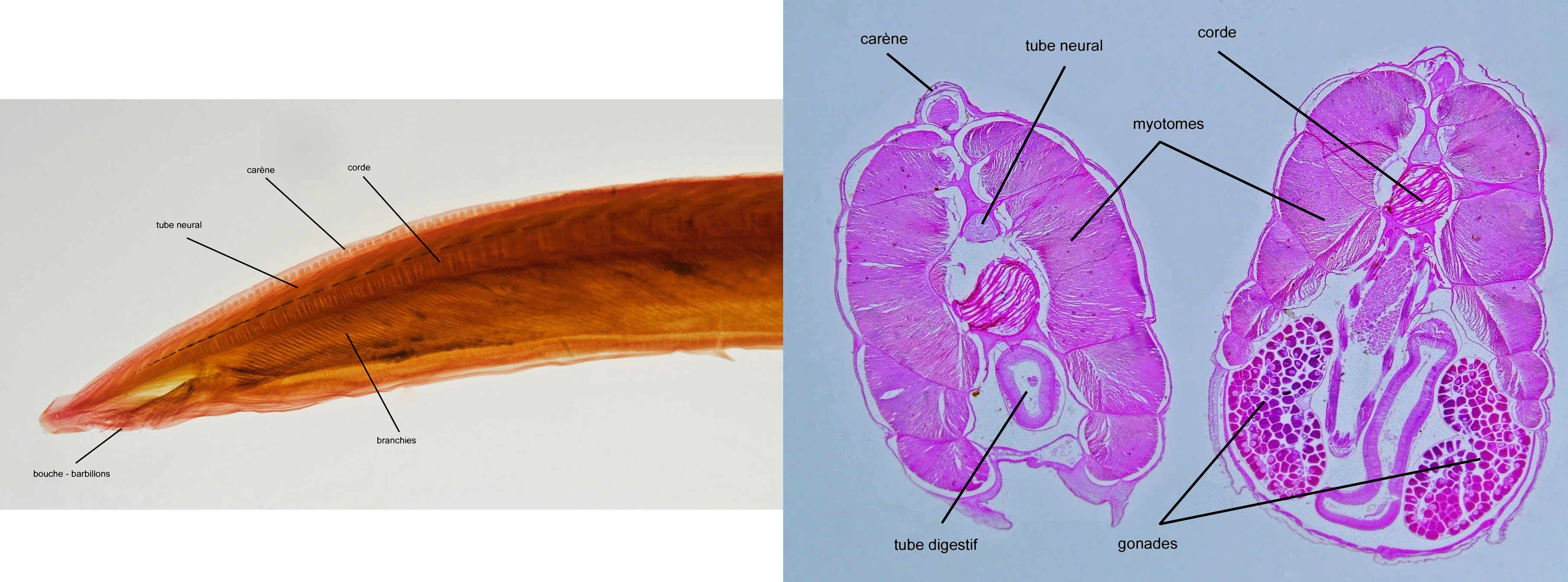 Image of lancelet