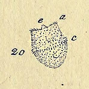 Image of Didinium