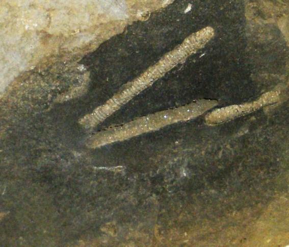 Image of Dasycladaceae