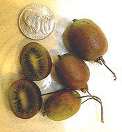 Image of tara vine