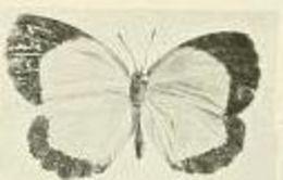 Image of <i>Citrinophila terias</i> Joicey & Talbot 1921
