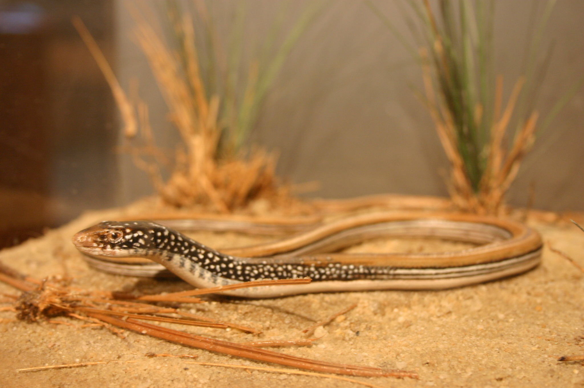 Image of Mimic Glass Lizard