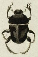 Image of Gymnopleurus