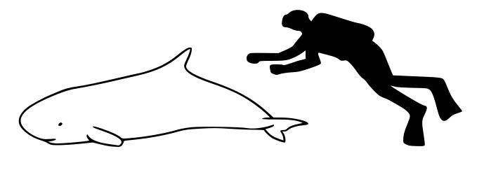 Image of Dwarf Sperm Whale