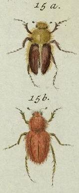 Image of <i>Pygopleurus vulpes</i> (Fabricius 1781)