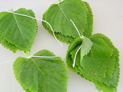 Image of Korean perilla
