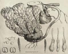 Image of <i>Dactylanthus taylorii</i> Hook. fil.