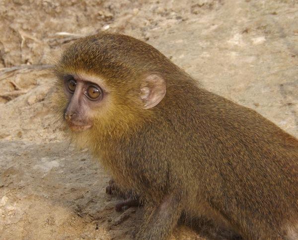 Image of Lesula