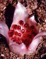 Image of Western underground orchid