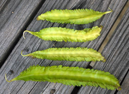 Image of winged bean