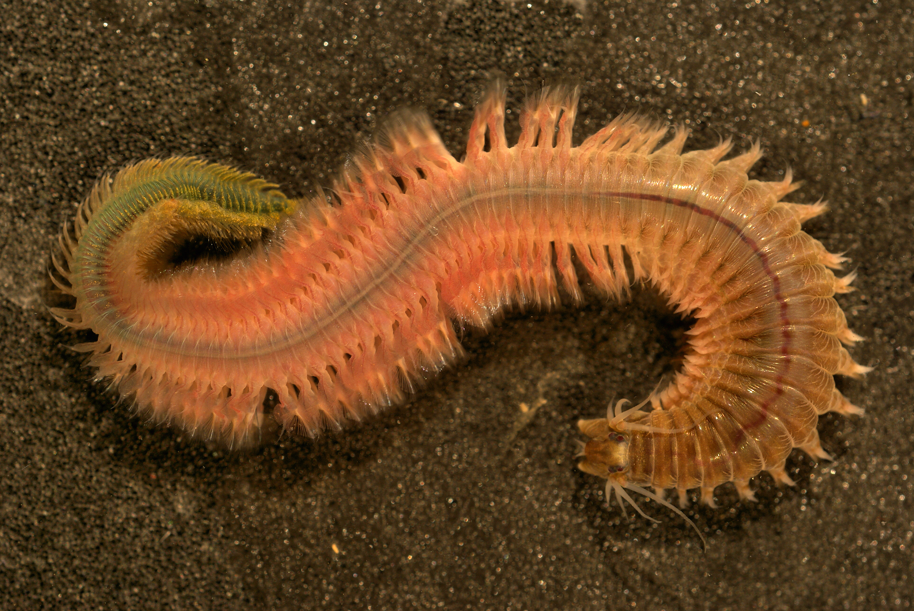 Image of Pile worm