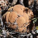 Image of <i>Banksia violacea</i> C. A. Gardner