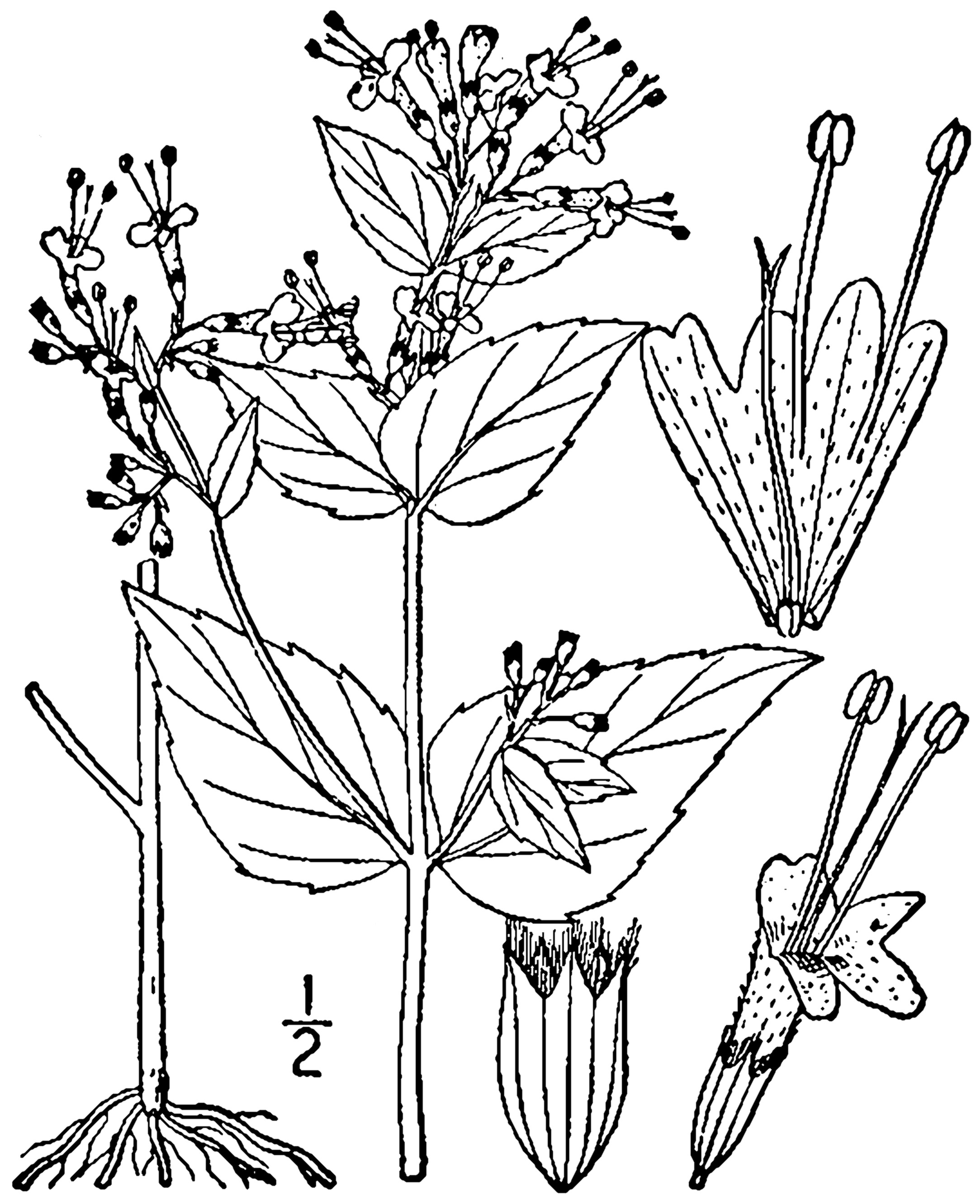 Image of common dittany