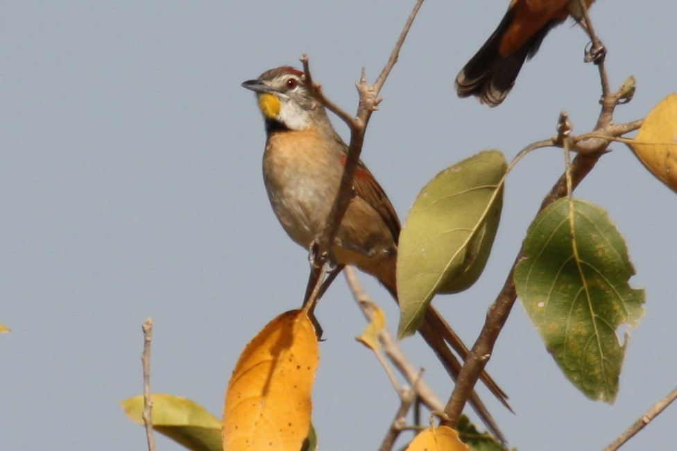 Image of Chotoy Spinetail