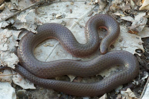 Image of Eastern Worm Snake