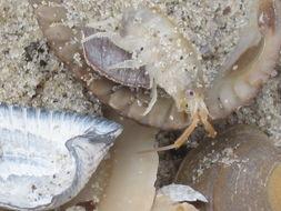 Image of Sand hopper