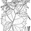 Image of white wood aster