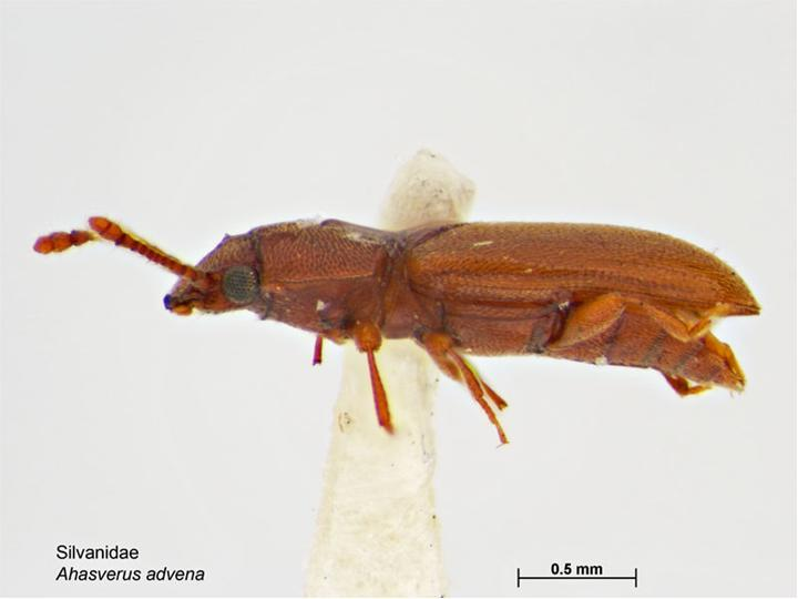Image of Foreign Grain Beetle