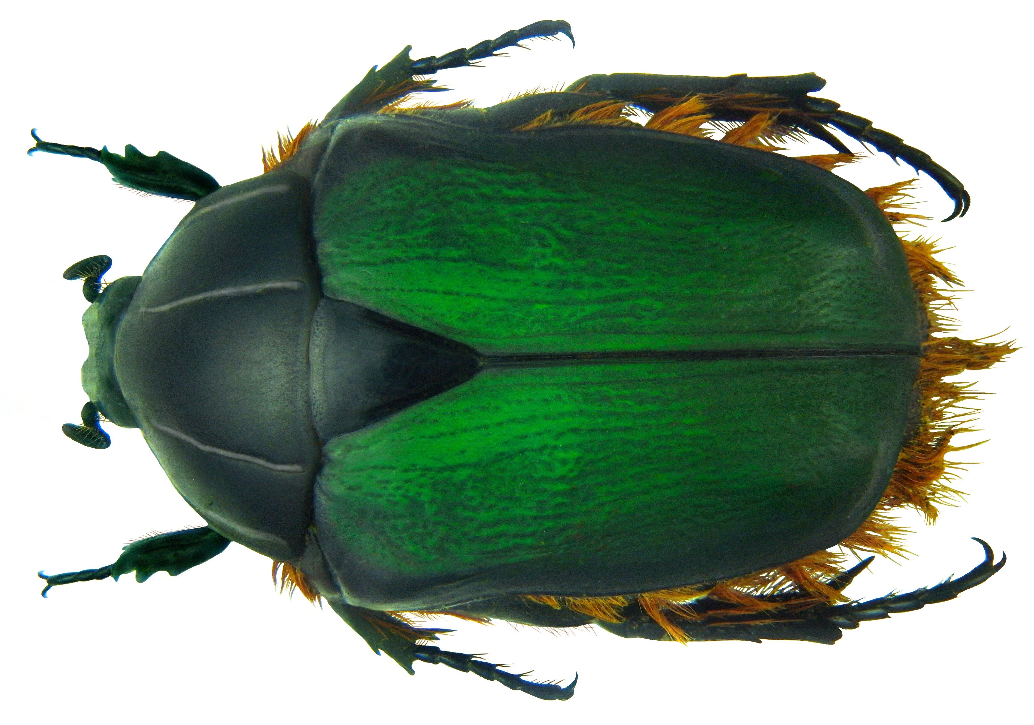 Image of <i>Trichostetha fascicularis</i> (Linnaeus 1767)