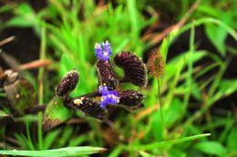 Image of <i>Cyanotis tuberosa</i> (Roxb.) Schult. & Schult. fil.