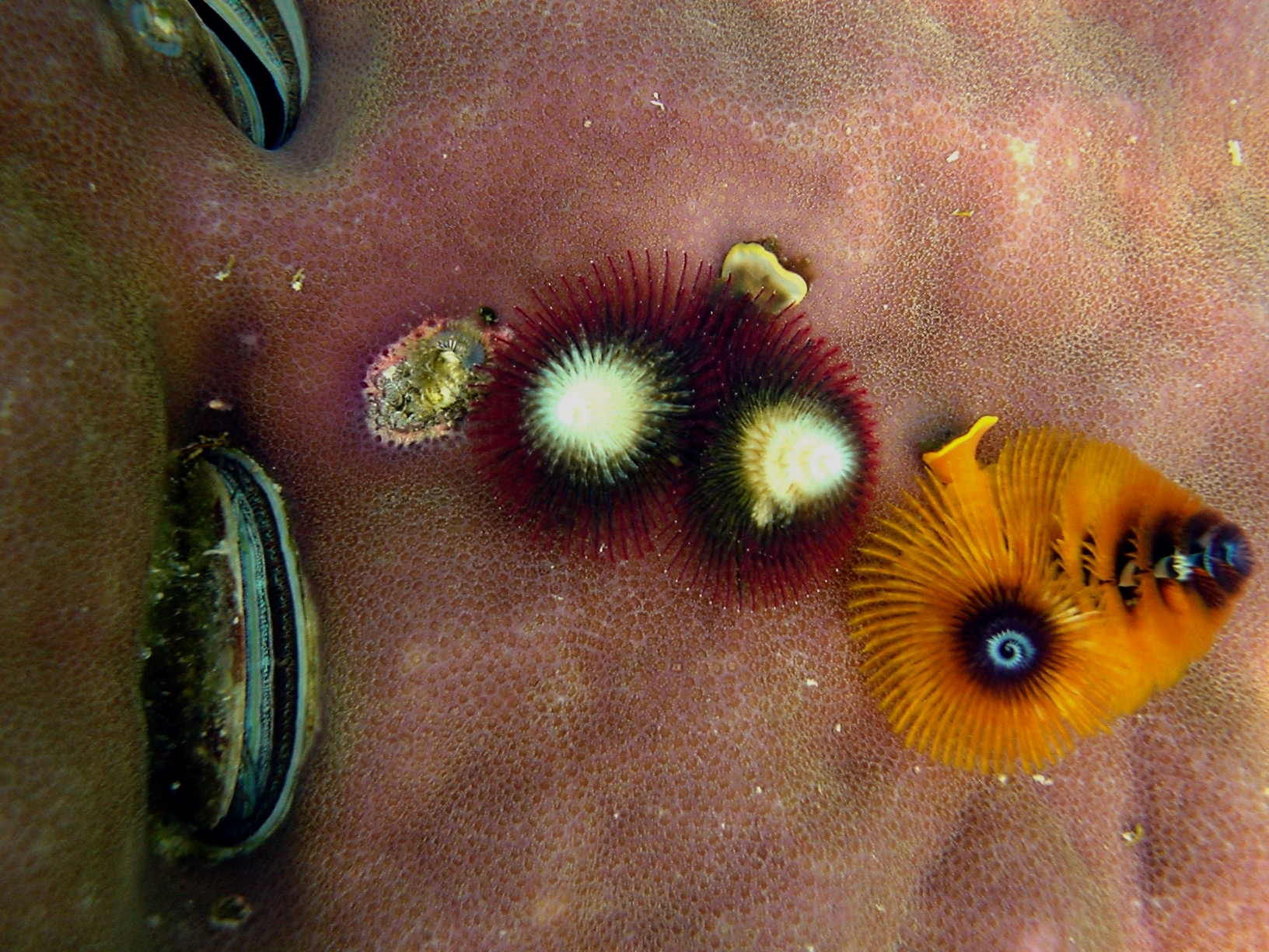 Image of Christmas tree worm