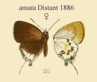 Image of <i>Sinthusa malika</i> (Horsfield 1829)