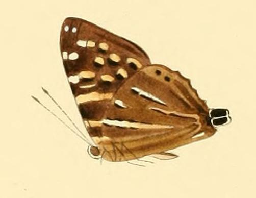 Image of <i>Dodona dipoea</i> Hewitson 1865