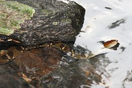 Image of Asiatic Water Snake