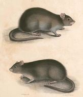 Image of Indian Mole-rat