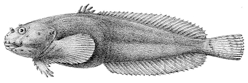Image of Montagu's Sea Snail