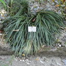 Image of Nuttall's deathcamas