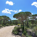 Image of Italian Stone Pine