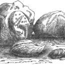 Image of Terebratulidae