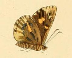 Image of <i>Anisyntoides argenteoornatus</i> Hewitson 1868
