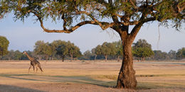 Image of Rhodesian Giraffe -- Luangwa Giraffe