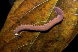 Image of peripatid velvet worms