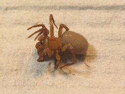 Image of <i>Cicurina cicur</i> (Fabricius 1793)