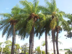 Image of grugru palm