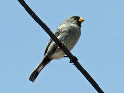 Image of Band-tailed Seedeater